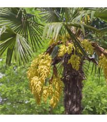 Palma konopná - Trachycarpus fortunei - semiačka - 2 ks