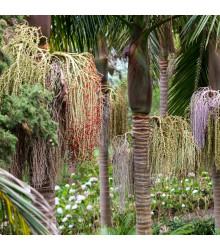 Palma kráľovská - Archontophoenix cunninghamiana - semiačka - 3 ks