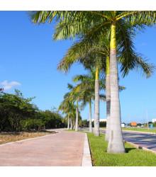 Palma kráľovská kubánska - Roystonea regia -semiačka - 3 ks