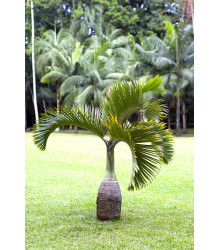 Palma fľašková - Hyophorbe lagenicaulis - semiačka - 3 ks