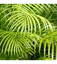 Palma madagaskarská - Dypsis madagascariensis - semiačka - 3 ks