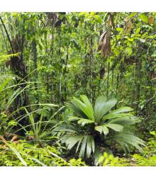 Palma mexická - Geonomma Interrupta - semiačka - 5 ks