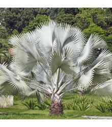 Palma strieborná - Nannorrhops arabica - semiačka - 3 ks