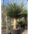 Dračinec obrovský - Dračí strom - Draceana draco - semiačka - 4 ks