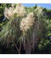 Nolina - Slonia noha - Nolina longifolia - semiačka - 5 ks