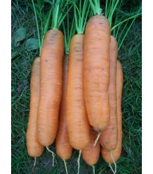 Mrkva Darina - Daucus carota - semiačka - 900 ks