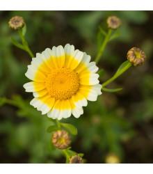 Chryzantéma jedlá - Chrysanthemum coronarium - semiačka - 450 ks
