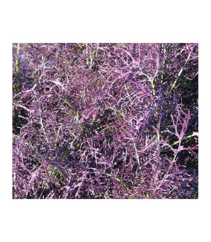 Mizuna červený devil F1 - Brassica campestris japonica - 0,02 gr