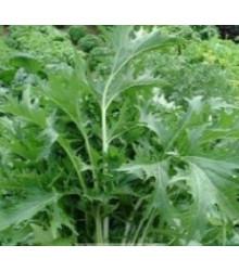 Mizuna Kruis F1 - Brassica campestris japonica - semiačka - 0,02 gr
