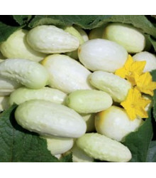 Uhorka biela - semiačka - 5 ks