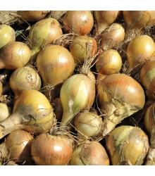 Cibuľa kuchyňská Sturon - Allium cepa - semiačka - 250 ks