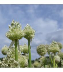 Cibuľa zimná - Allium fistulosum - semiačka - 120 ks