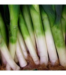 Pór zimný D´Elbeuf - Allium porrum - semiačka - 200 ks
