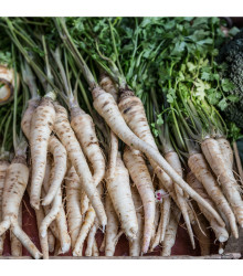 Paštrnák dlhý biely Halblange - Pastinaca sativa - semiačka - 1 gr