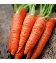 Mrkva Rotin - Daucus carota - semiačka - 1gr