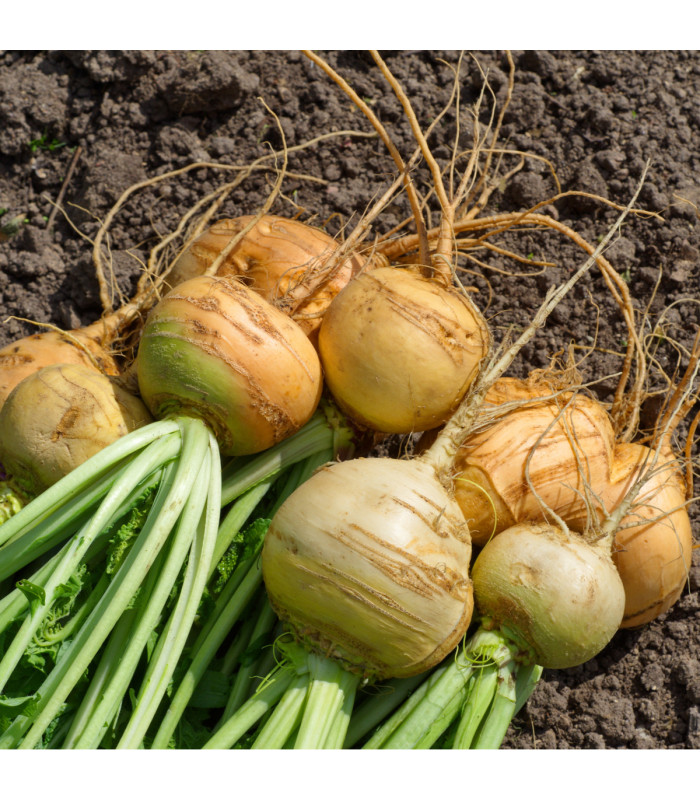 Turín Dalibor - Brassica napus var. napobrassica - semiačka - 0,8 gr
