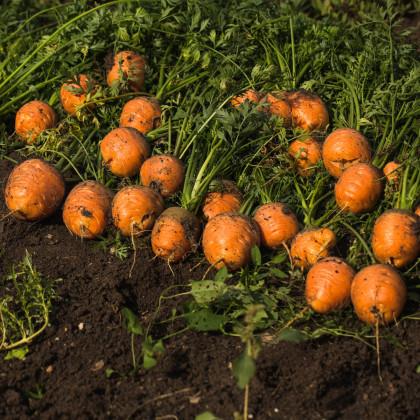 Mrkva guľatá na rýchlenie Pariser Markt - Daucus carota - semienka mrkvy - 900 ks