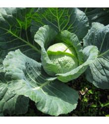 Kapusta hlávková neskorá - Brassica oleracea - semiačka - 200 ks