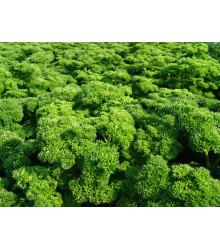 Petržlen Astra vňaťový - Petroselinum crispum - semiačka - 700 ks