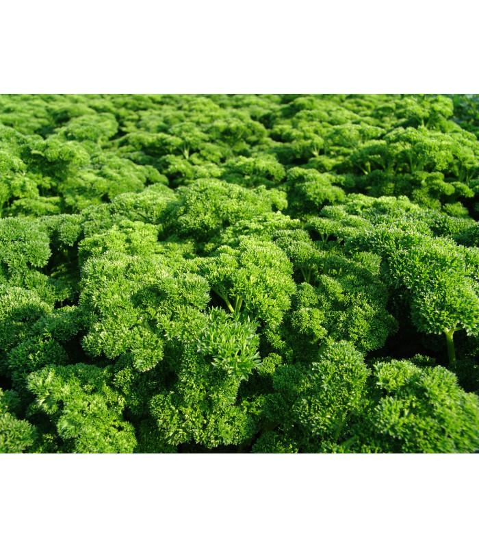 Petržlen Astra vňaťový - Petroselinum crispum - semiačka - 1 gr