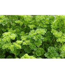 Petržlen Starlett - Petroselinum crispum - predaj semien - 500 ks