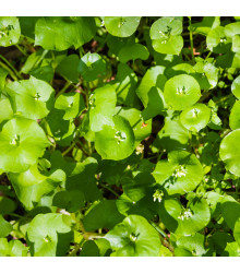Portulaka zimná - Claytonia perfoliata - semiačka - 100 ks