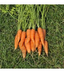 Mrkva Amsterdam skorá - Daucus carota - semiačka - 1 gr