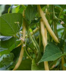 Fazuľa kríčková Hildora - Phaseolus vulgaris L. - semiačka - 10 gr