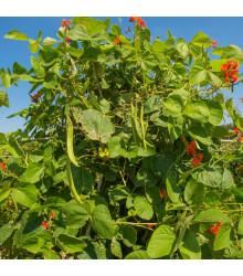 Fazuľa šarlátová Preis - Phaseolus coccineus - semiačka - 10 Ks
