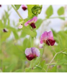 Hrach cukrový pestrofarebný - Pisum sativum - semiačka - 8 gr