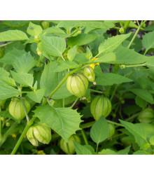 Tomatillo Verde - semiačka - 7 ks