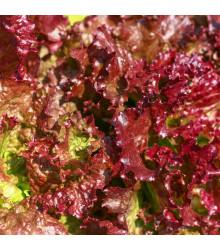 Šalát červený kučeravý - Lactuca sativa - semiačka - 900 ks