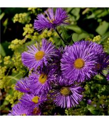 Astra kopcová - Aster amellus - predaj semien trvaliek -