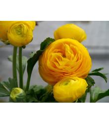 Iskerník žltý - Ranunculus asiaticus - cibuľky - 3 ks