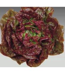 Šalát hlávkový červený - Lactusa sativa - semiačka - 0,5 gr