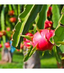Pithaya - Dračie ovocie - Pythaya - semiačka - 4 ks