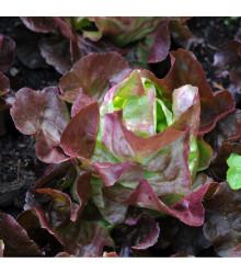 Šalát hlávkový červený Rosemarry - Lactusa sativa - semiačka - 200 ks