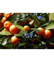 Pomarančovník zakrslý - Citrus mitis - semiačka - 3 ks