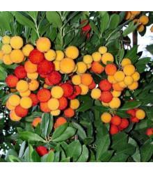 Jahodový strom - Planika obyčajná - Arbutus unedo - semiačka - 5 ks