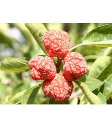 Kudrania - Cudrania tricuspidata - semiačka - 5 ks