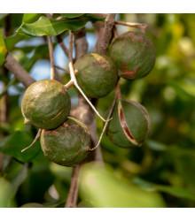 Makadámia - Macademia integrifolia - makadamské oriešky - semiačka - 2 ks