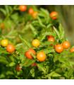 Solanum sessiliflorum - semiačka - 10 Ks