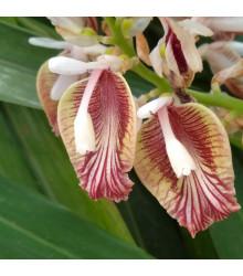 Kardamovník - Elettaria cardamomum -semiačka - 5 ks