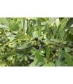 Vavrín vznešený - Bobkový list - semiačka - 5 ks