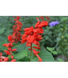 Šalvia žiarivá Johannisfeuer - Salvia splendens - semienka - 15 ks