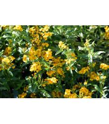 Aksamietnica mexická - Mexický taragon - Tagetes lucida -semiačka - 0,2 gr