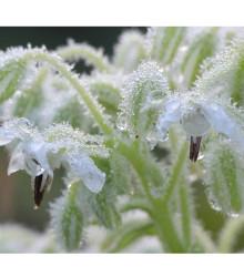 Borák lekársky biely - Borago officinalis - semiačka - 20 ks