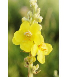 Divozel veľkokvetý - Verbascum densiflorum - semiačka - 300 ks