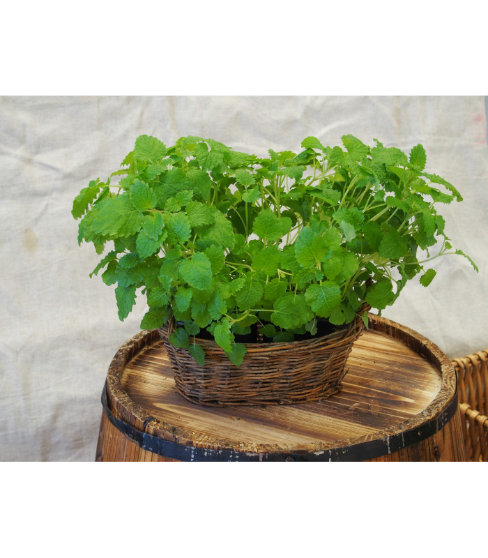 Medovka - Melissa officinalis - semiačka - 0,4 gr