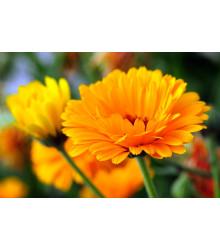 Nechtík lekársky - oranžová guľa - Calendula officinalis - semiačka - 65 ks